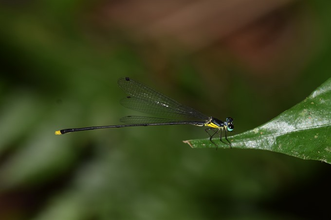 New damselfly species found in central Vietnam | #AsiaNewsNetwork