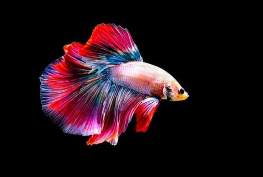 Thailand's fighting fish to become national symbol in ...